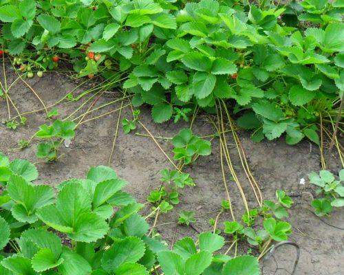 Выращивание усов клубники на маточной плантации