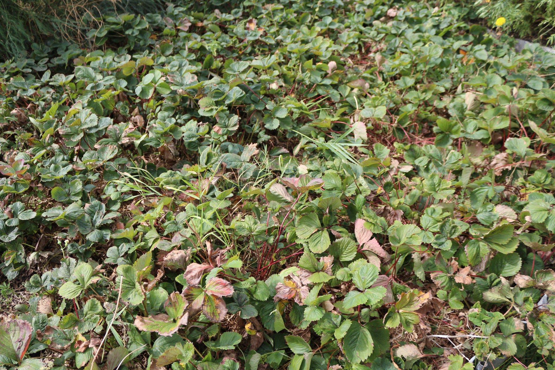 Плантация клубники осенью
