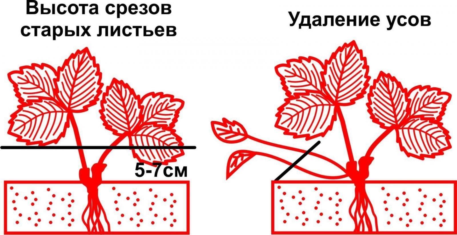 Схема правильной обрезки