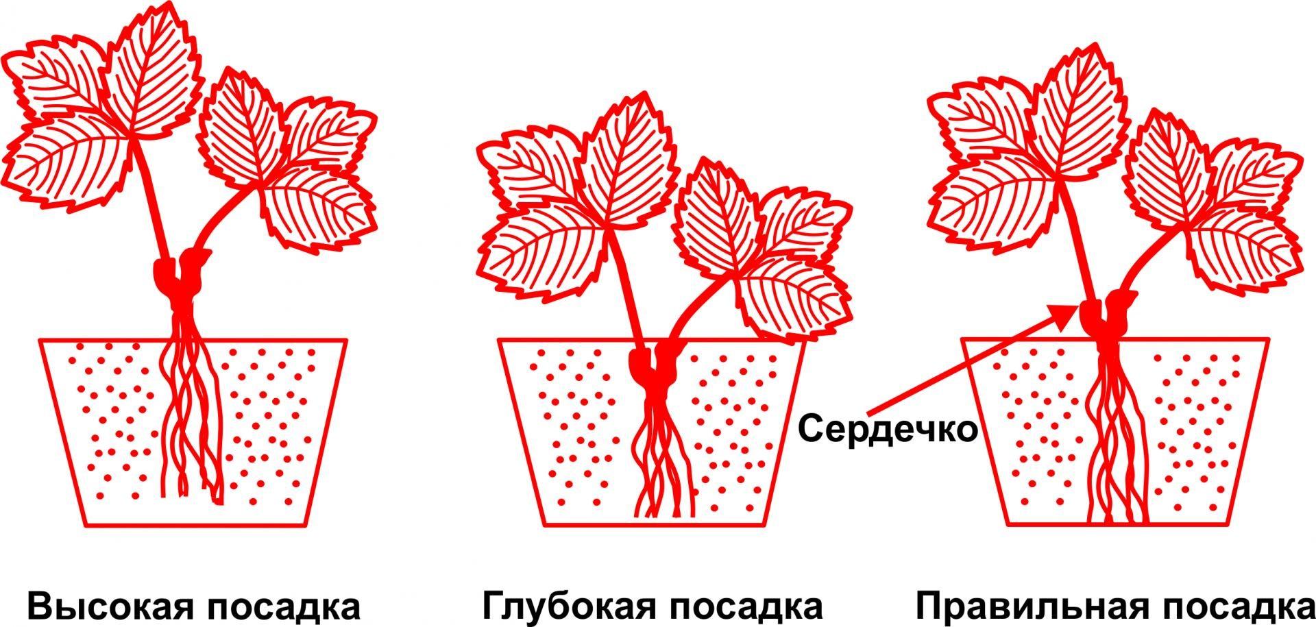 Схемы правильной и неправильной посадки клубники