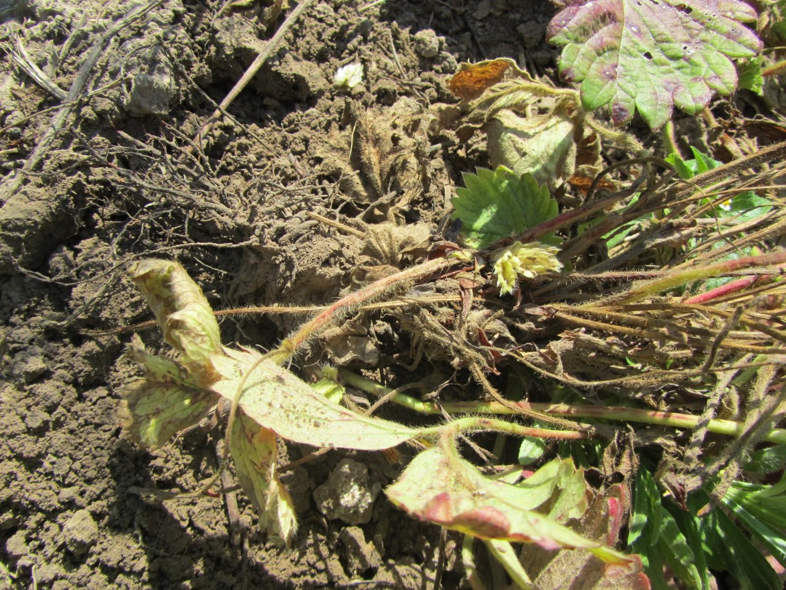 Засохшие кустики с оголенными корнями